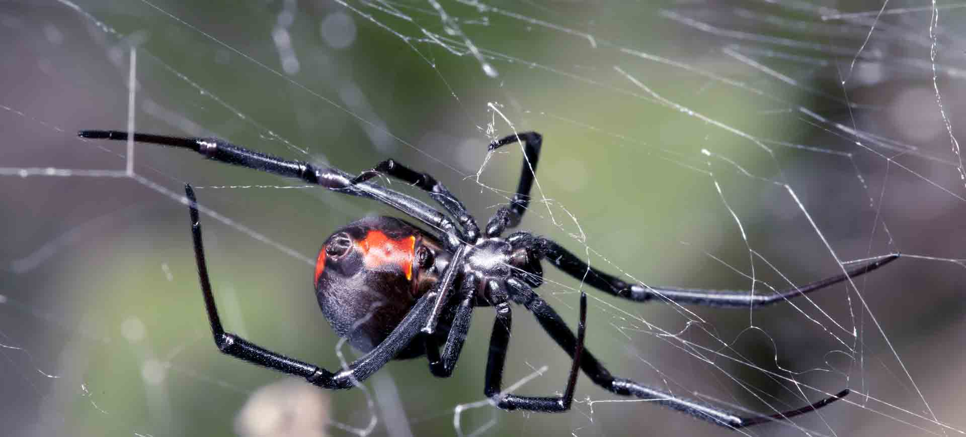 spider pest control lakeside