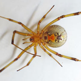 Insect and Spider Identification: CLOSED: What is this ... |San Diego Garden Spiders