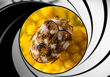 carpet beetle pest control treatment san diego