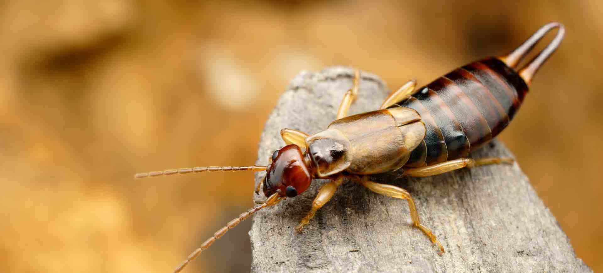 earwig pest control carmel valley