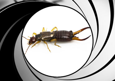 earwig pest control treatment san diego