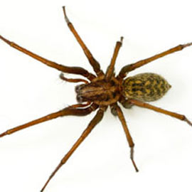 Spider Pest Control - Spider Removal - License to Kill ... |San Diego Garden Spiders