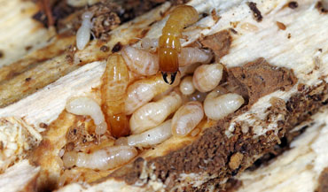 Orange Oil Termite Treatment San Diego Termite Control