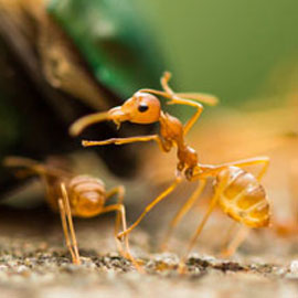 Ant Control San Diego - Ants San Diego - License to Kill Pest ...