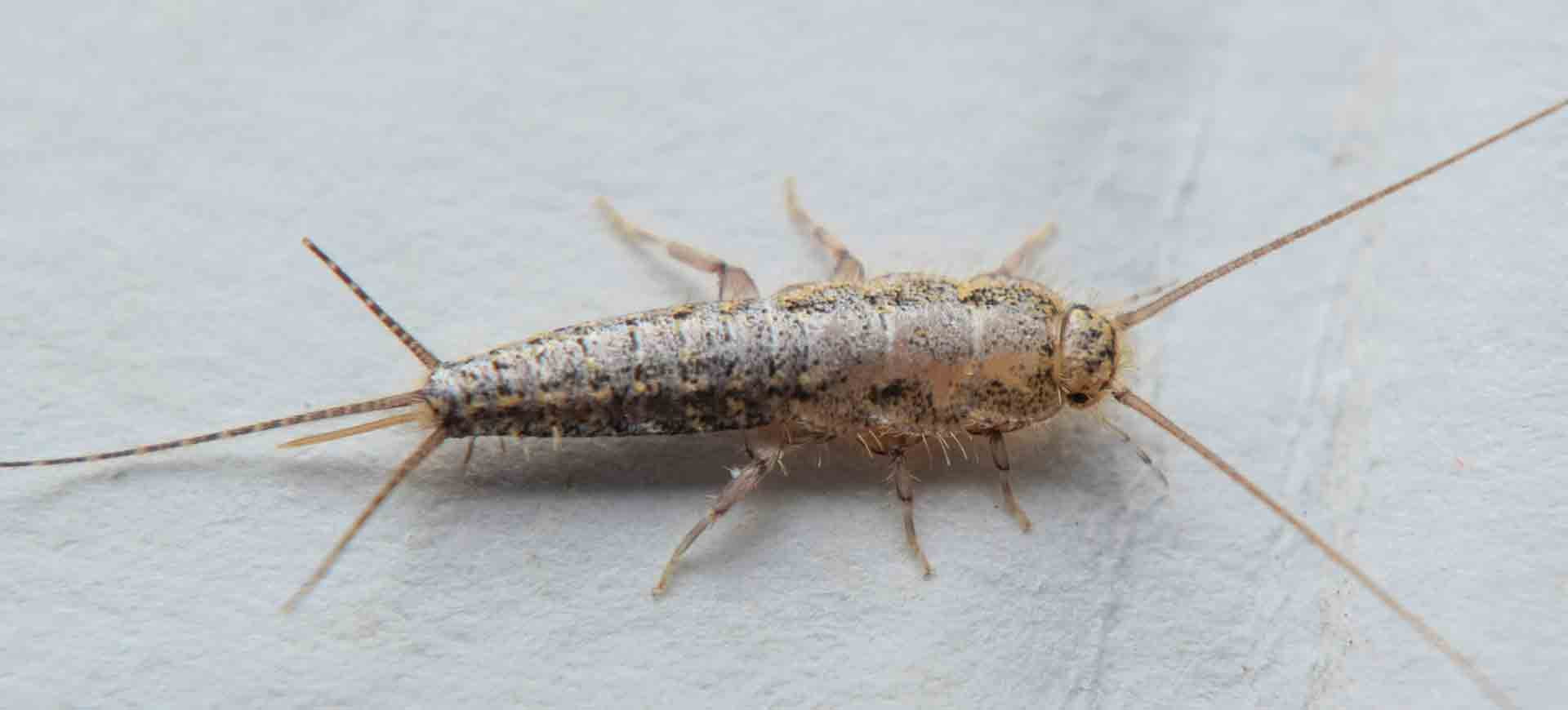 silverfish pest control lakeside