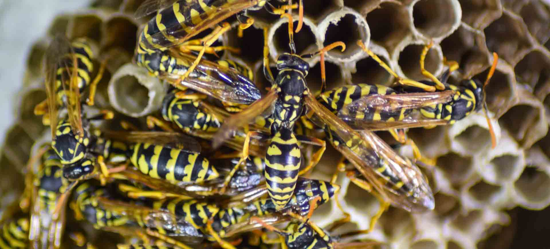 wasp pest control bay park