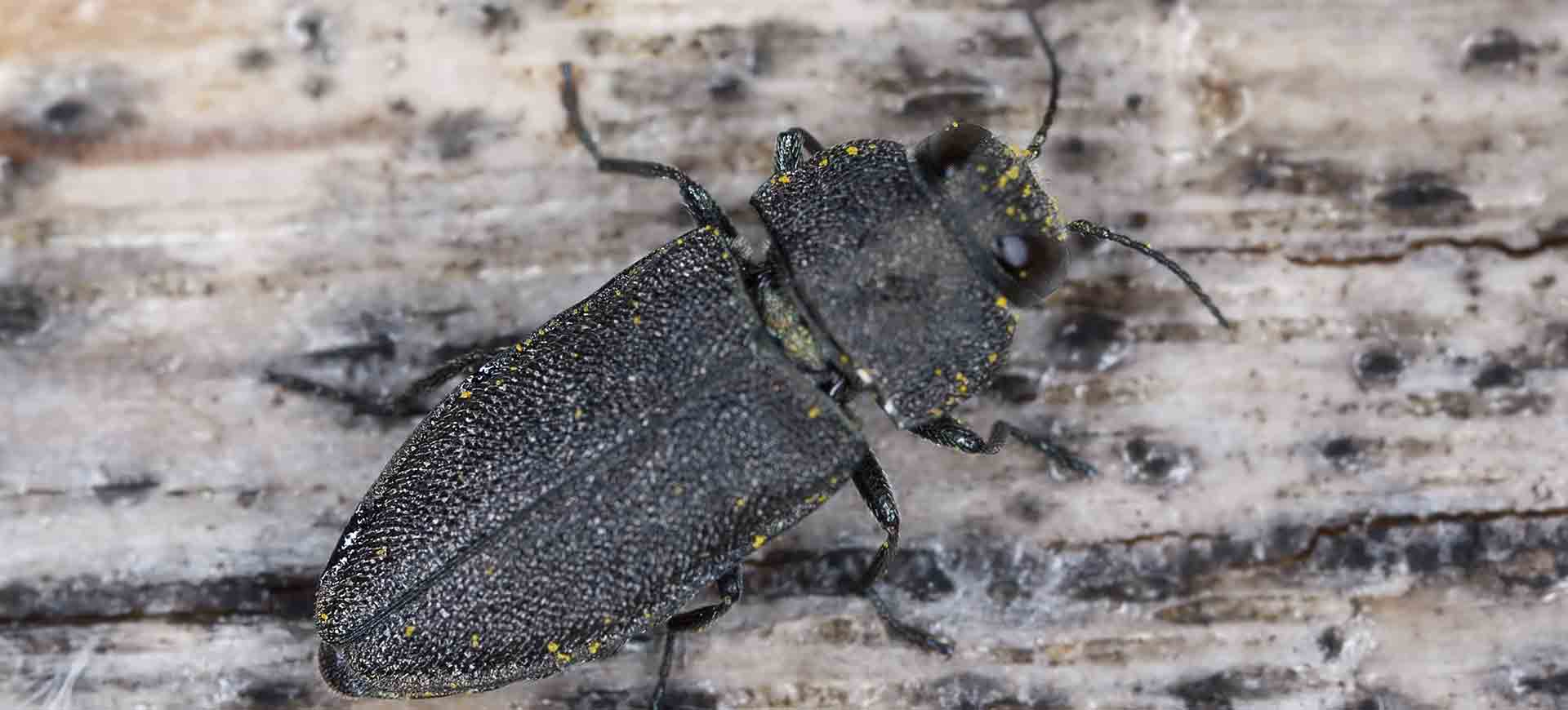 boring beetle pest control mission valley